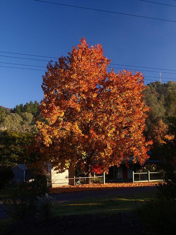 liquid amber autumn